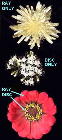 Composite flowers ray flowers and disk flowers in composit blossoms ccuart Image collections