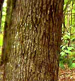 Why do Trees Have Bark? image