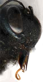 head of Large Carpenter Bee, Xylocopa, showing tongue