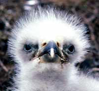 Bald Eagle nestling with down feathers, photo by Dave Menke, courtesy of US Fish & Wildlife Service