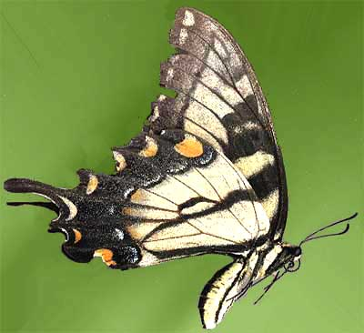 male Tiger Swallowtail butterfly, Pterourus glaucus