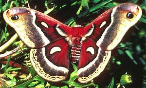 Close to the Cecropia Moth, Hyalophora cecropia, but probably a Columbia Silk Moth or a Glover's Silk Moth; image courtesy of U.S. Fish and Wildlife Service, photo by Ed Loth