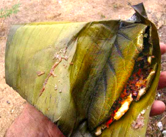 tamala in Hoja Santa leaf (Piper auritum) cooked and wrapped in banana leaf