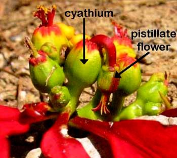 Poinsettia Flower Anatomy