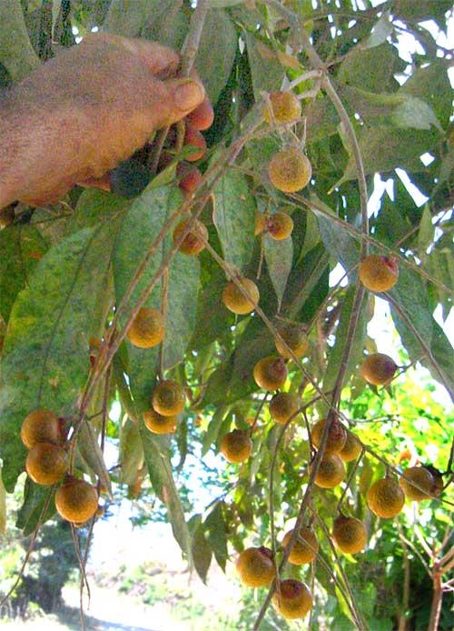 Soapberry Sapindus Saponaria