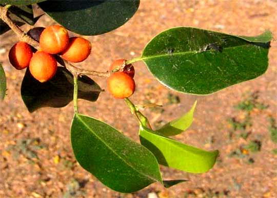 Strangler Figs, genus FICUS