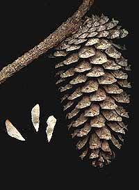 Loblolly Pine, Pinus taeda, cone and seeds