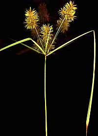 Cyperus, or umbrella sedge