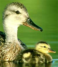 Gadwal ducks, photo by Dave Menke, courtesy of US Fish & Wildlife Service