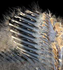 feather follicles