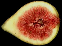fig cross-section