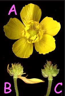 achenes of the Buttercup, genus Ranunuculus