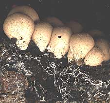 Hyphae of puffballs (Lycoperdon pyriforme) growing on decaying wood.
