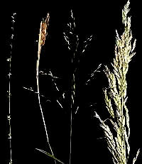 Four grass inflorescences