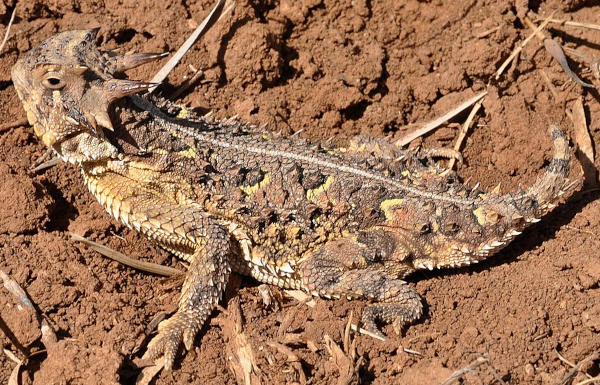 Coast Horned Lizard, Phrynosoma coronatum, image by Gary R. Zahm, courtesy of U.S. Fish and Wildlife Service