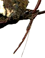 Sucking beak of Leaf-footed Bug