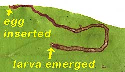 Leaf miner in dogwood leaf