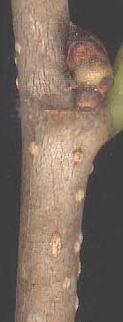 lenticels on twig of White Mulberry