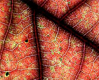 veins in Black Oak leaf