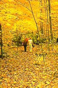 golden leaf-walk