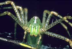 Lynx Spider, possibly Peucetia viridans of the southern US, image courtesy of the U.S. Fish and Wildlife Service, photo by Jon R. Nickles