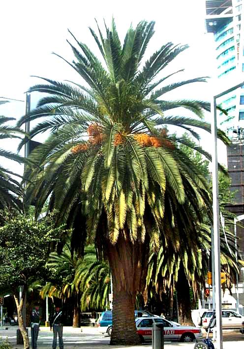 dates palm. Canary Island Date Palm,