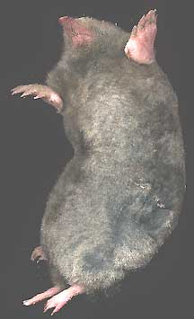 Eastern Mole -- If you don't eventually see a mole here, click your browser's reload or refresh button