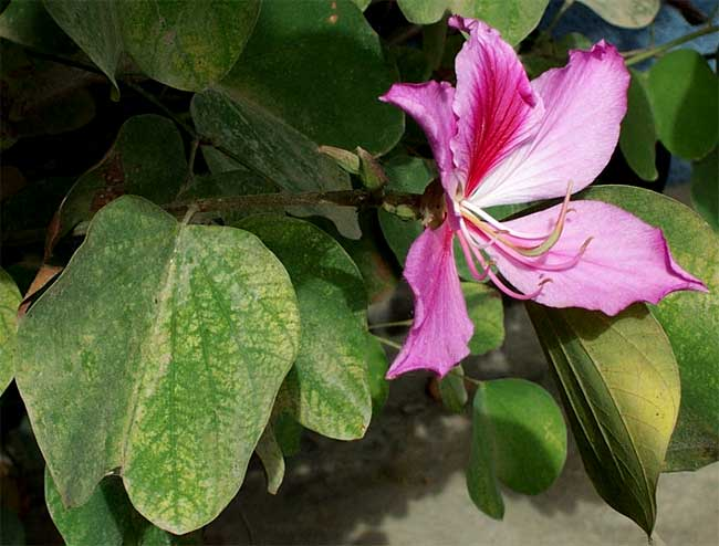 Purple Orchid Tree, BAUHINIA VARIEGATA