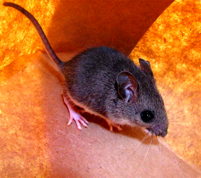 White Footed Mouse Peromyscus Leucopus