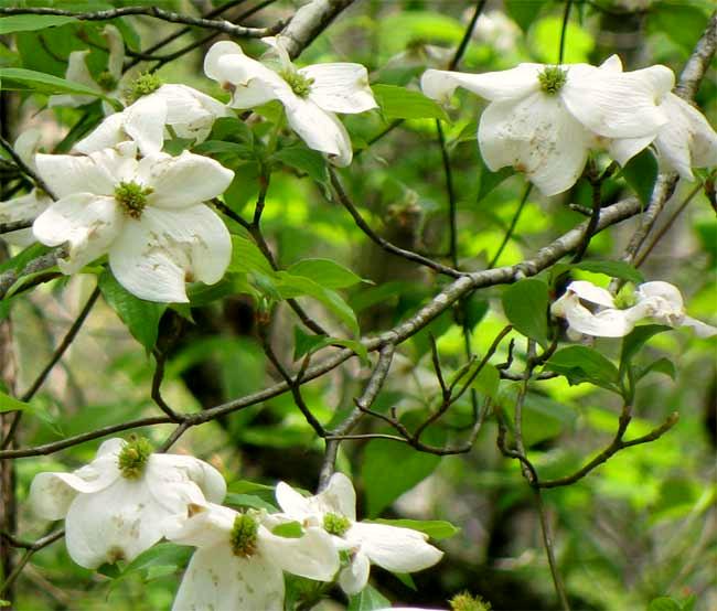 flowering dogwood cornus florida. Black Bedroom Furniture Sets. Home Design Ideas