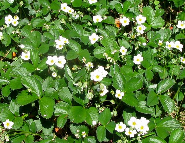 strawberry plants in flower - White Flowering House Plants