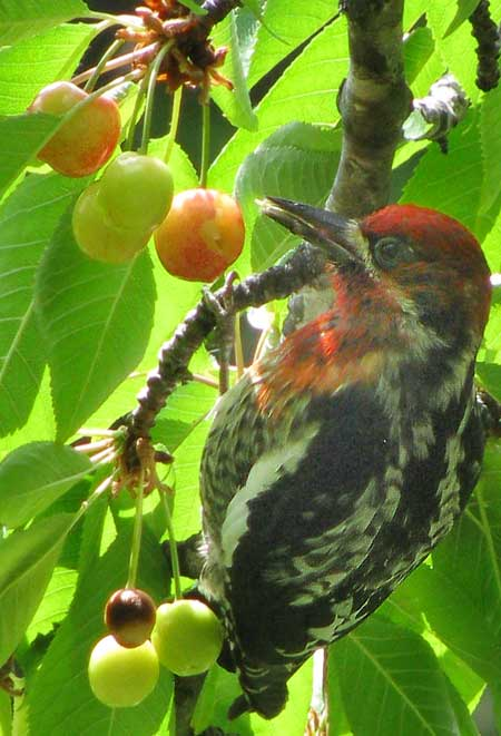 Red-breasted Sapsucker, SPHYRAPICUS RUBER