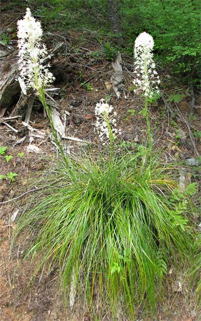 xerophyllum plant