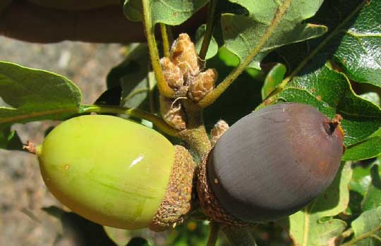 Oregon white oak quercus garryana