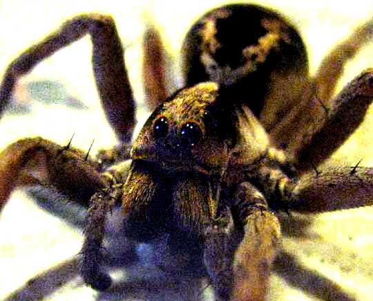 Wolf spider eyes glow - photo#28