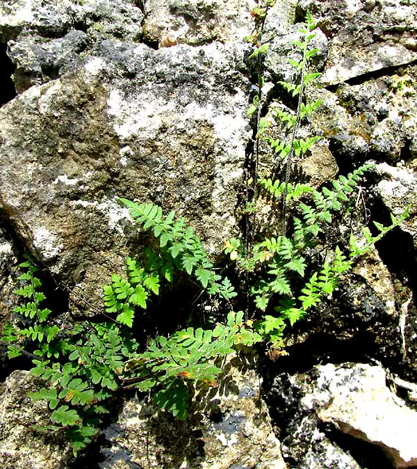Southern Lip Fern, CHEILANTHES MICROPHYLLA
