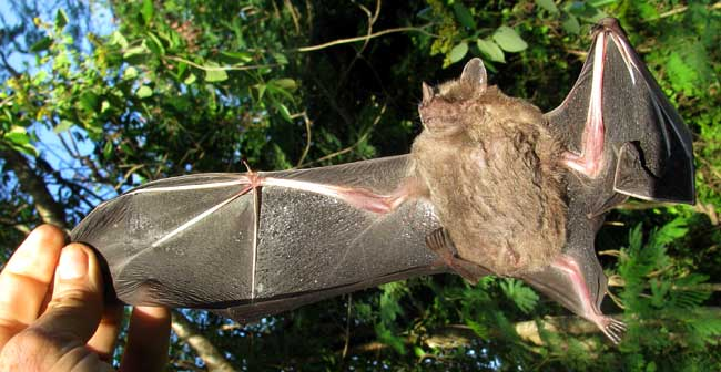 Jamaican Fruit Bat, ARTIBEUS JAMAICENSIS