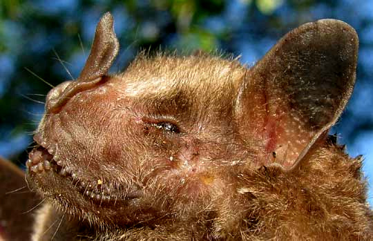 Jamaican Fruit Bat, ARTIBEUS JAMAICENSIS, head