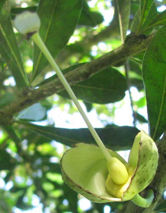 flower of Calabash-tree, CRESCENTIA CUJETE