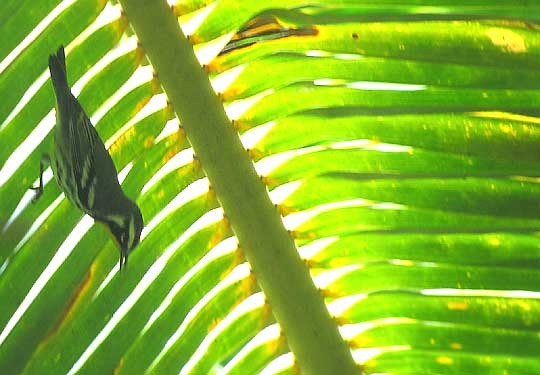Yellow-throated Warbler, DENDROICA DOMINICA beneath palm frond
