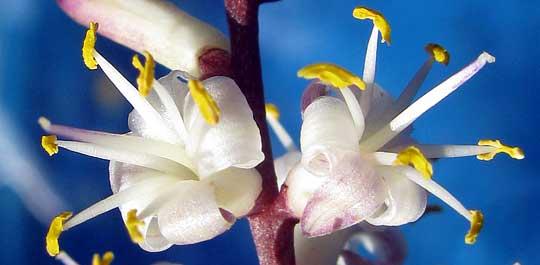 Ti Plant Cordyline Fruticosa
