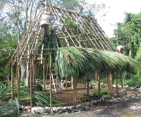 Huano Palm, SABAL YAPA, being used to thatch a roof