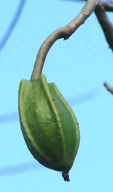 JACARATIA MEXICANA, fruit