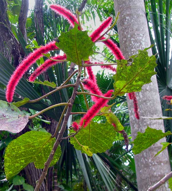 Chenille-Plant or Redhot-Cattail, ACALYPHA HISPIDA
