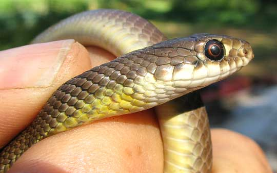 cf. Mayan Golden-backed Snake, SYMPHIMUS MAYAE