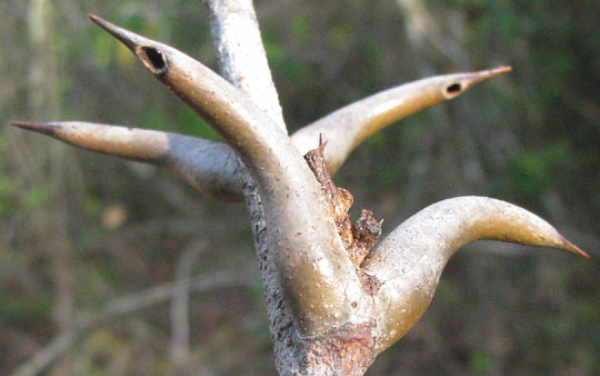 Bull Horn Acacia Acacia Collinsii