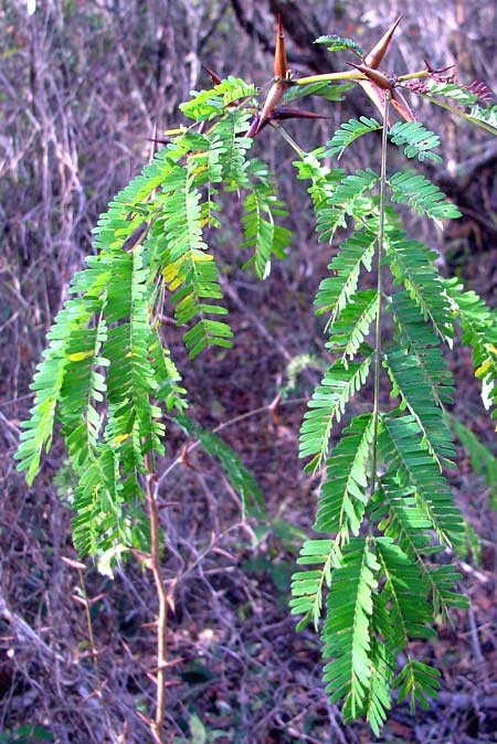 Bull-Horn Acacia, ACACIA COLLINSII, leaves