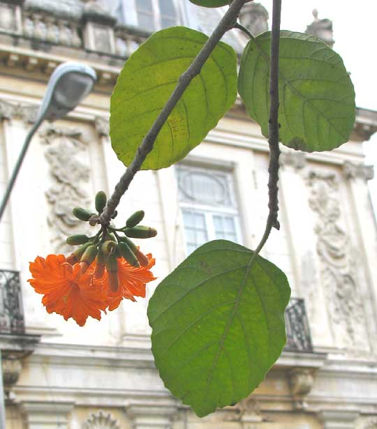 Ciricote, CORDIA DODECANDRA, flowers and leaves