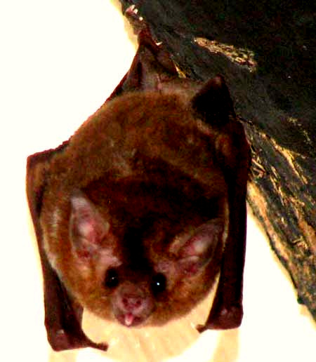 probably the Argentine Brown Bat, EPTESICUS FURINALIS