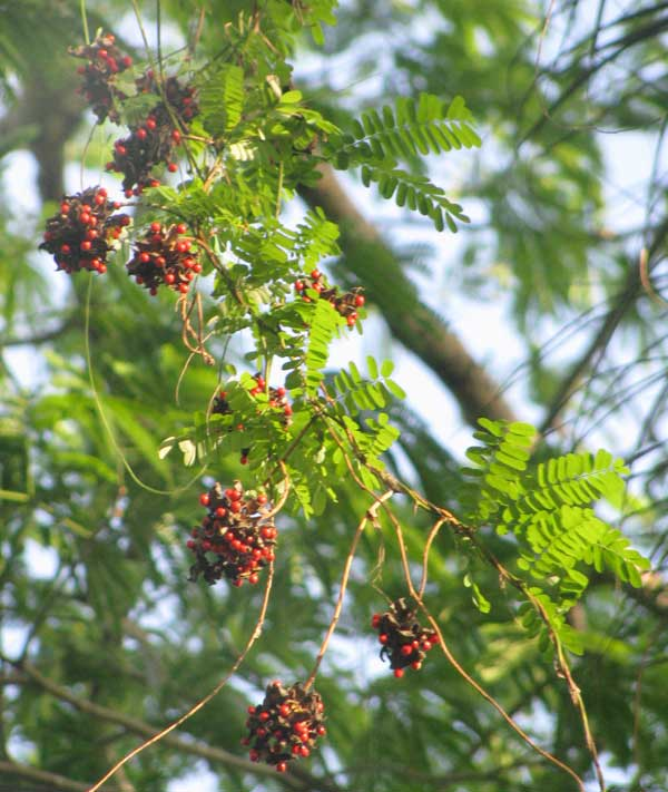 Beadvine Or Rosary Pea Abrus Precatorius